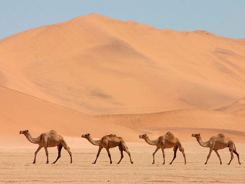 Camel tour to discover the Sahara